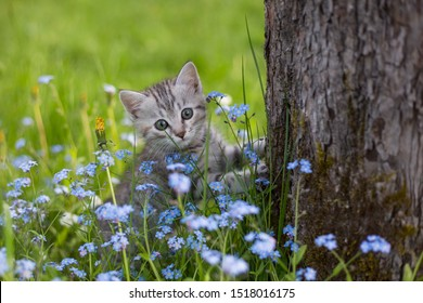 Little Playful Gray Kitten on a Green Grass in the meadow with forget-me-nots near the tree. Cat for the first time outdoor.