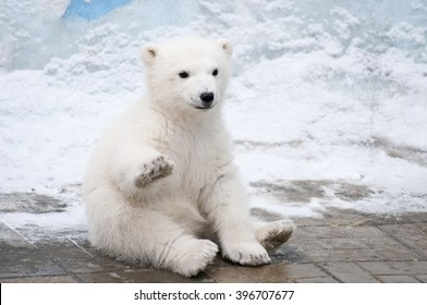 Little polar bear sits like a dog raising up his right paw