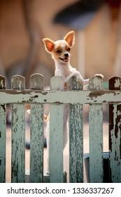 little pomeranian dog climbing wood fence