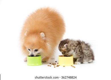 Little Pomeranian dog and Persian cat eating food together on isolated