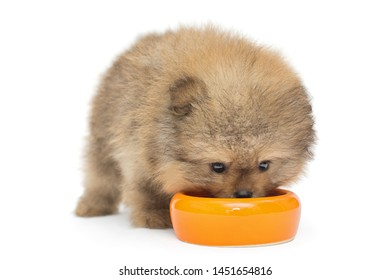 Little Pomeranian puppy eating with yellow bowl isolated on white background