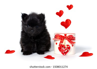 A little Pomeranian puppy sits next to a coffee mug decorated with hearts for Valentine's Day or for a sweetheart showing love.