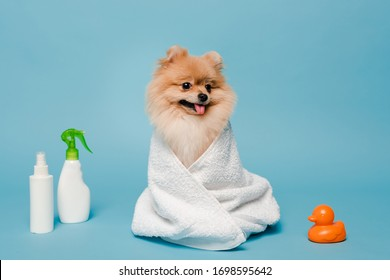 little pomeranian spitz dog wrapped in towel on blue with spray bottles and rubber duck