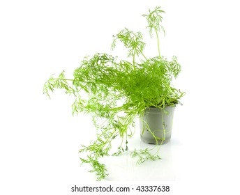 Little pot with dill herb over white background