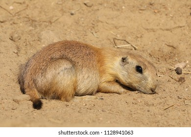 Little prairie dog laying in the sand