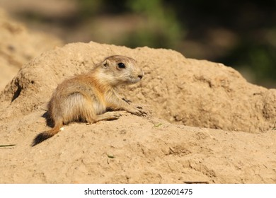 Little prairie dog sitting next ot its burrow