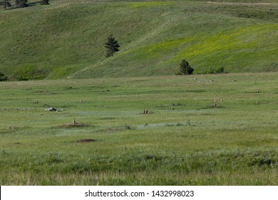 Little prairie dogs standing up by their holes across the green grass of the South Dakota prairie land in the sunshine.