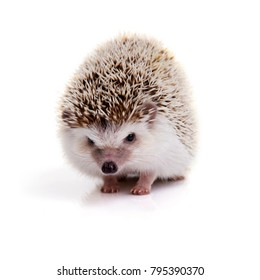 Little prickly hedgehog looking forward on white background.