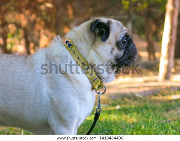 little-pug-dog-watching-his-600w-1418464