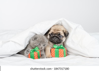 Little pug puppy and little fluffy briton kitten sit next to wrapped gifts under a large white blanket on the bed at home