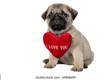 "Little pug puppy with sign ""I Love You""."