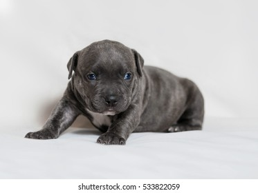 Little Puppies American Bully