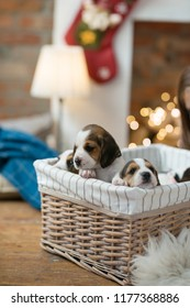 Little puppies during Christmas eve
