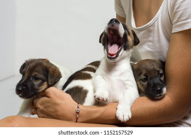 Little puppies on hands, puppy yawns, breed fox terrier