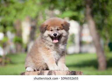 little puppy akita