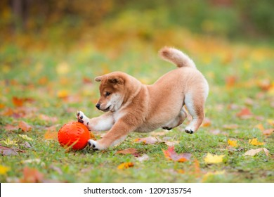 little puppy Akita inu runs and plays with orange ball in the autumn park