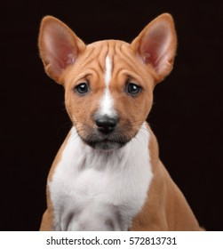 Little puppy basenji on a brown background
