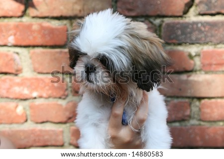 Little Puppy Being Held By His Stock Photo Edit Now 14880583