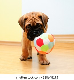 little puppy bullmastiff played in the house. square shape pictures