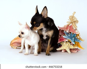 Little puppy chihuahua with mom standing near the toy, on gray background