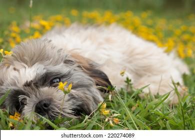 Little puppy in a field of buttercups