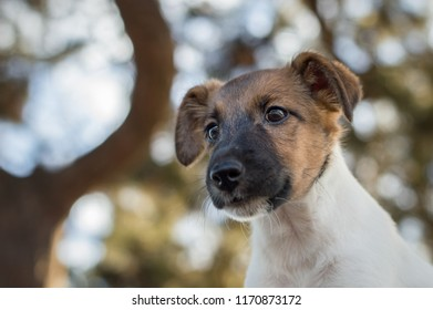 Little puppy, fox terrier looks from above, walk on the street