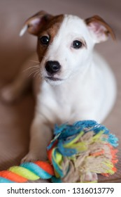 Little puppy Jack Russell Terrier with brown spots on the face