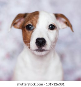 Little puppy Jack Russell Terrier with brown spots on the face.