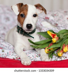 Little puppy Jack Russell Terrier with a brown spot on the face and a bouquet of yellow tulips in a vase