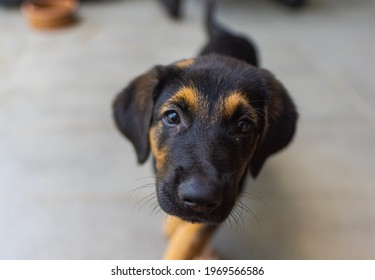 Little puppy looking up with faithful eyes. Close up portrait of young black brown dog. Golden Retriever German Shepherd mix with blue collar. Cute adorable doggy lovely eyes