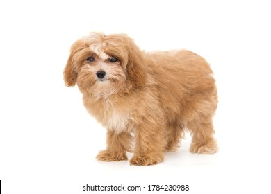 Little puppy maltipoo isolated on white background