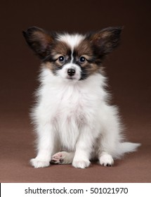 Little Puppy Papillon on a brown background