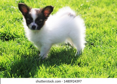 little puppy papilon dog in the green grass