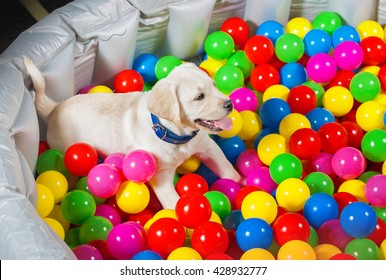 little puppy playing in pool full of balls