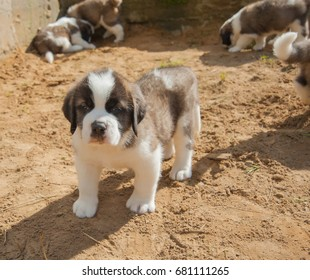 Saint Bernard Puppy Images, Stock Photos & Vectors | Shutterstock