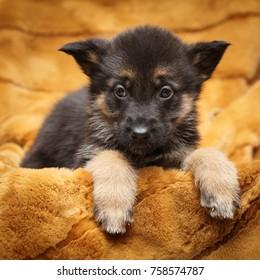 Little puppy of Shepherd