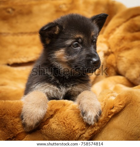 Little puppy of Shepherd