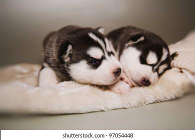 little puppy of siberian husky