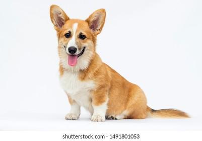 little puppy sits and looks, breed welsh corgi pembroke