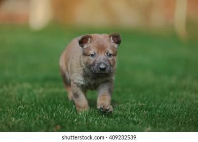 little puppy walks on green grass
