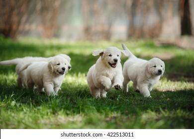 Little puppys Golden retriever,  running around, playing in the summer park