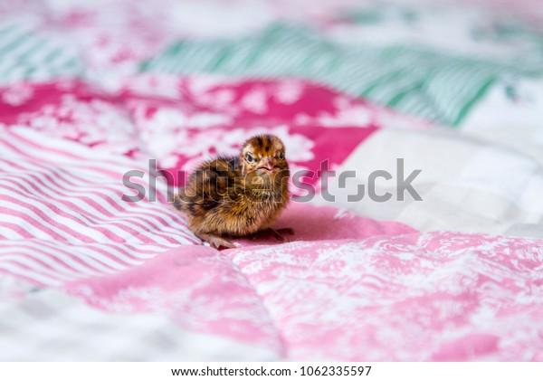 little Quail Chick