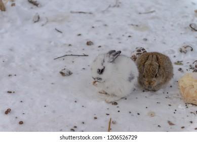 Little rabbit eating during winter Mar 2018