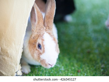 Little rabbit on grass field.Brown white Rabbit, Rabbit on the lawn Rabbit on the green grass, a frightened rabbit.