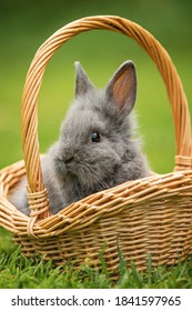 Little rabbit sitting in a basket on the lawn in summer