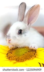 little rabbit and sunflower at the garden.