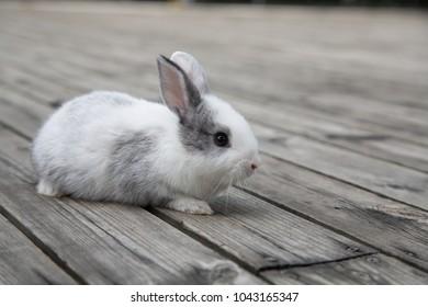 Little rabbit walks on gray wood.