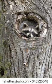 Little Raccoon Peeking out of Hole in Tree