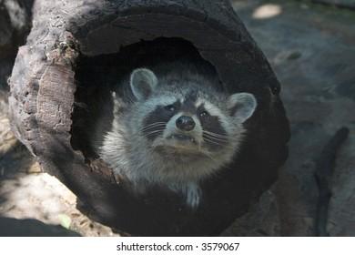 Little racoon