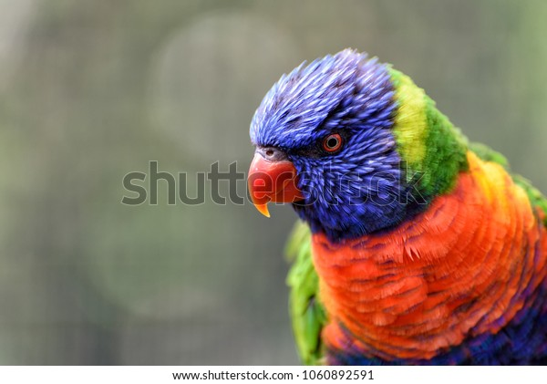little rainbow lorikeet with colorful feathers in Australia